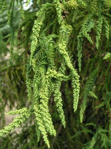 Cryptomeria japonica 'Rasen,' a spiral-form cultivar that may be in the top 5 for collectors of bizarre plants.
