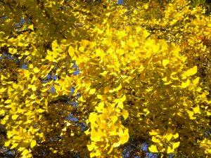 Ginkgo biloba fall color