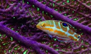 Juvenile puddingwife wrasse (photograph by Tim Grollimund)