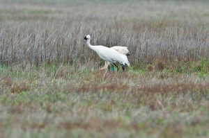 Crane mother and chick at Aransas Refuge, photo by author.