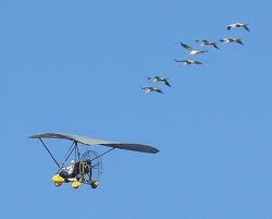 Young whoopers are taught how to migrate as part of Operation Migration.