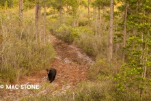Florida Black Bear © Mac Stone