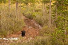 Florida Black Bear © Mac Stone