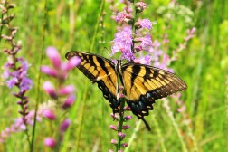 2.1. Tiger Swallowtail on Liatris