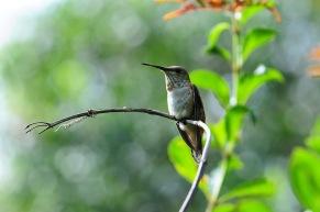 201. Rufous Hummingbird